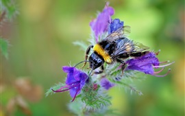 Preview wallpaper Insect, bee, purple flowers