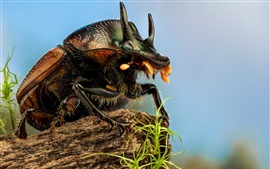Preview wallpaper Insect, scarab macro photography
