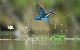 Kingfisher flight, water drops, lake, water lily