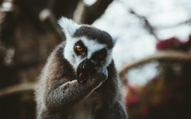 Preview wallpaper Lemur eat food