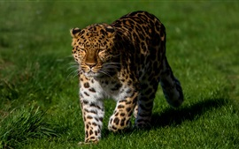 Leopard walk in the grass