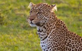 미리보기 배경 화면 표범, 야생 고양이, 잔디