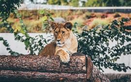 Cachorro de león sentado para descansar