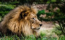 Vista lateral do leão, cabeça, juba