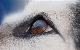 Malamute perro ojos macro fotografía