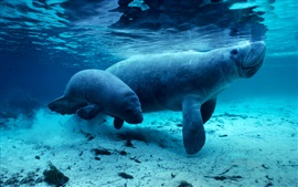 Manatees, underwater