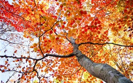 Maple tree, red leaves, bottom view, autumn