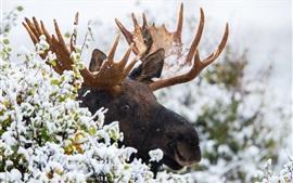 Alces en invierno, nieve, cuernos