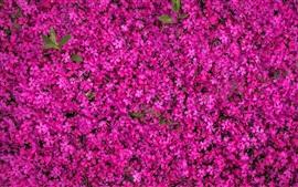 Multitud de flores rosadas florecen