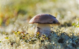 Cogumelo, gotas de água, grama, brilho
