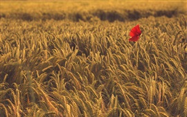 Preview wallpaper One red poppy flower in the wheat field