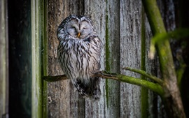 Owl sleeping, bird photography