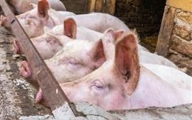Los cerdos se paran en una línea
