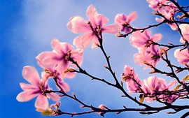 Flores rosadas, magnolia, primavera, cielo azul