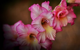 Preview wallpaper Pink gladiolus flowers macro photography