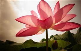 미리보기 배경 화면 핑크 로터스, 꽃잎, 백라이트