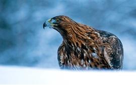 Predador, águia, bico, fundo azul