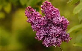 Flores púrpuras, lila, inflorescencia