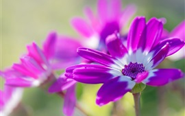 Preview wallpaper Purple osteospermum flowers