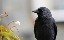Raven, pássaro de pena preta, flor