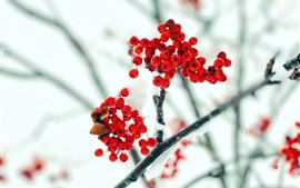 Preview wallpaper Red berries, twigs, snow, frost