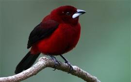 Preview wallpaper Red feather bird, beak