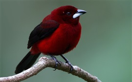 Aperçu fond d'écran Oiseau plume rouge, bec