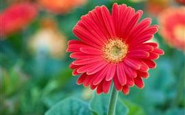 Fotografía macro flor roja gerbera, pétalos