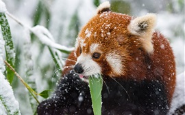 Preview wallpaper Red panda in the winter, snowy