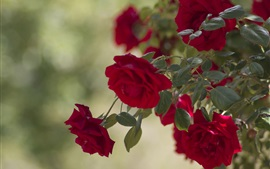 Preview wallpaper Red rose flowers, garden