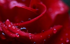 Red rose petals macro photography, water drops