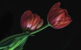 Preview wallpaper Red tulips, black background