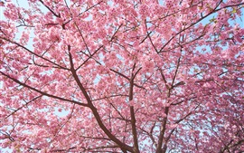 Preview wallpaper Sakura tree, flowers bloom, beautiful spring