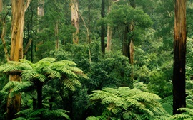 Preview wallpaper Sherbrooke, Victoria, Australia, forest, trees, green