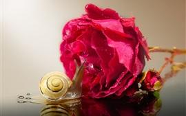 미리보기 배경 화면 달팽이와 붉은 장미, 물방울