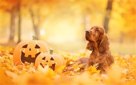 Preview wallpaper Spaniel, pumpkin, yellow leaves, autumn