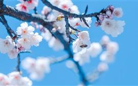 미리보기 배경 화면 봄, 사쿠라, 흰 꽃, 벌