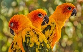 Preview wallpaper Three birds, parrot