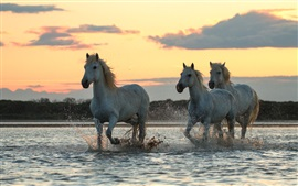 Preview wallpaper Three horses run in water