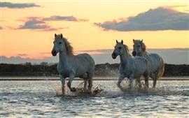 Três cavalos correm na água