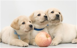 Preview wallpaper Three puppies and an apple
