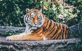 Preview wallpaper Tiger lying to rest, look at side