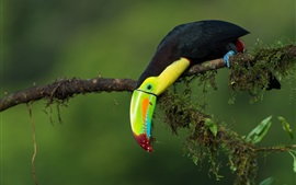 Toucan, tree branch, green background