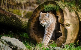 Preview wallpaper Tree hole, lynx