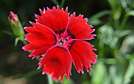 Turkish carnation, red flower