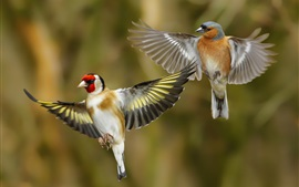 Preview wallpaper Two birds flying, goldfinch, wings