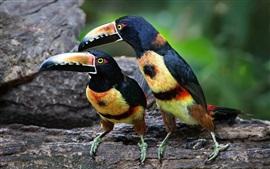 Aperçu fond d'écran Deux oiseaux, toucan, plumes colorées