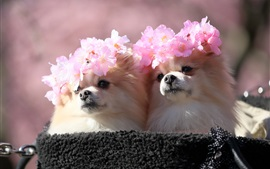 Two dogs, sakura wreath