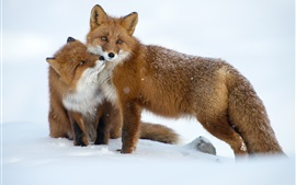 Preview wallpaper Two foxes, snow