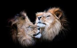 Dos leones, fondo negro